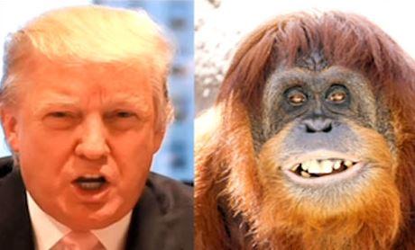 donaldtrump-orangutan
